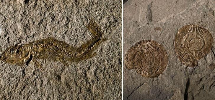 poisson-fossile-du-toarcien-et-ammonite-du-toarcie