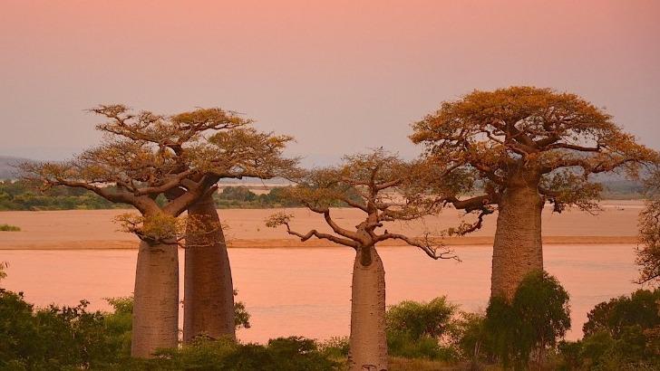 foret-de-baobab-a-andavadoaka
