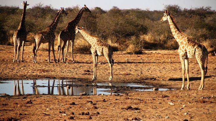 grandir-aventure-des-girafes-namibie