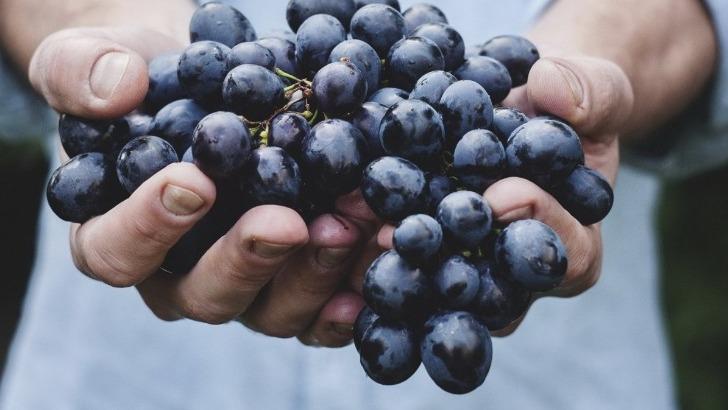 fruit-d-une-annee-de-travail-raisin-atteint-sa-maturite