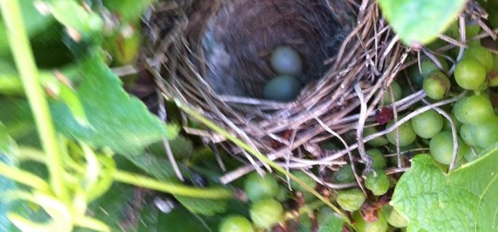 nid-d-oiseau-decouvert-avec-ses-oeufs-minuscules