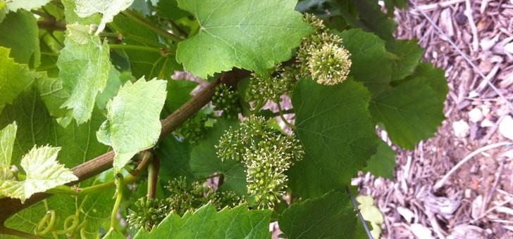 fleur-de-vigne-et-chute-des-capuchons