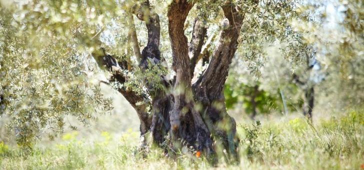 plus-de-100-varietes-d-oliviers-france