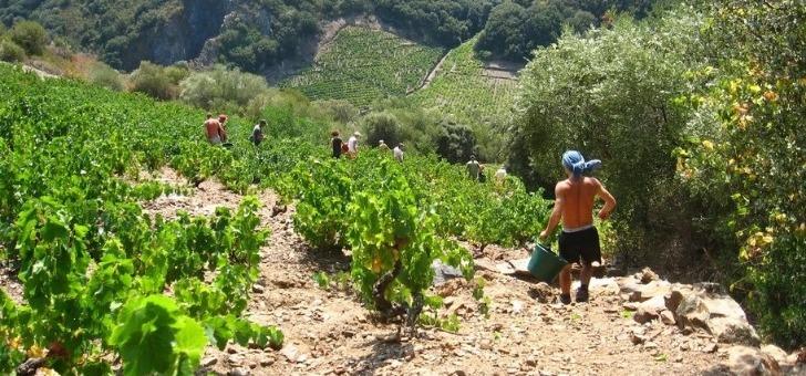 vendanges-a-banyuls-sur-mer-partez-a-decouverte-des-vignes-et-vins-du-roussillon