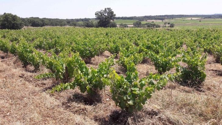 domaine-lacroix-vanel-a-caux-travaille-ses-cepages-vinification-traditionnelle