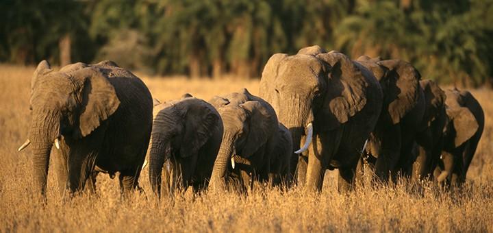 un-troupeau-d-elephants-a-decouvrir-au-cours-de-votre-safari