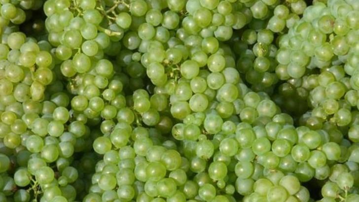 du-chardonnay-fraichement-recolte-dans-vignoble-jean-seleque