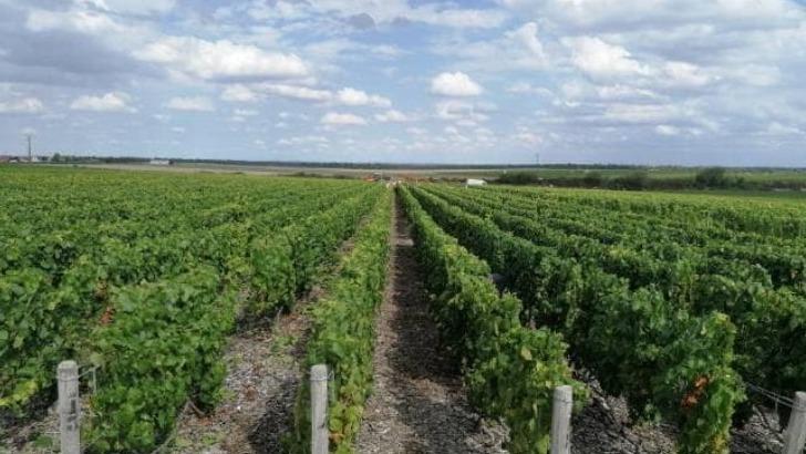 20-hectares-du-vignoble-champagne-pierre-moncuit-sont-plantes-chardonnay