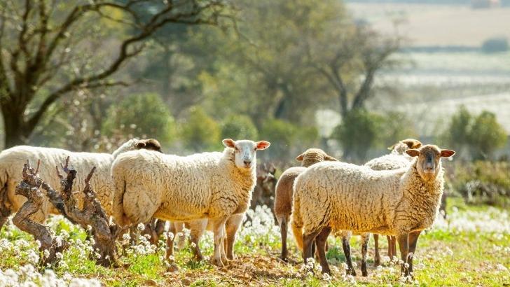 labellises-eleveurs-possedons-un-troupeau-d-une-trentaine-de-brebis-et-d-agneaux